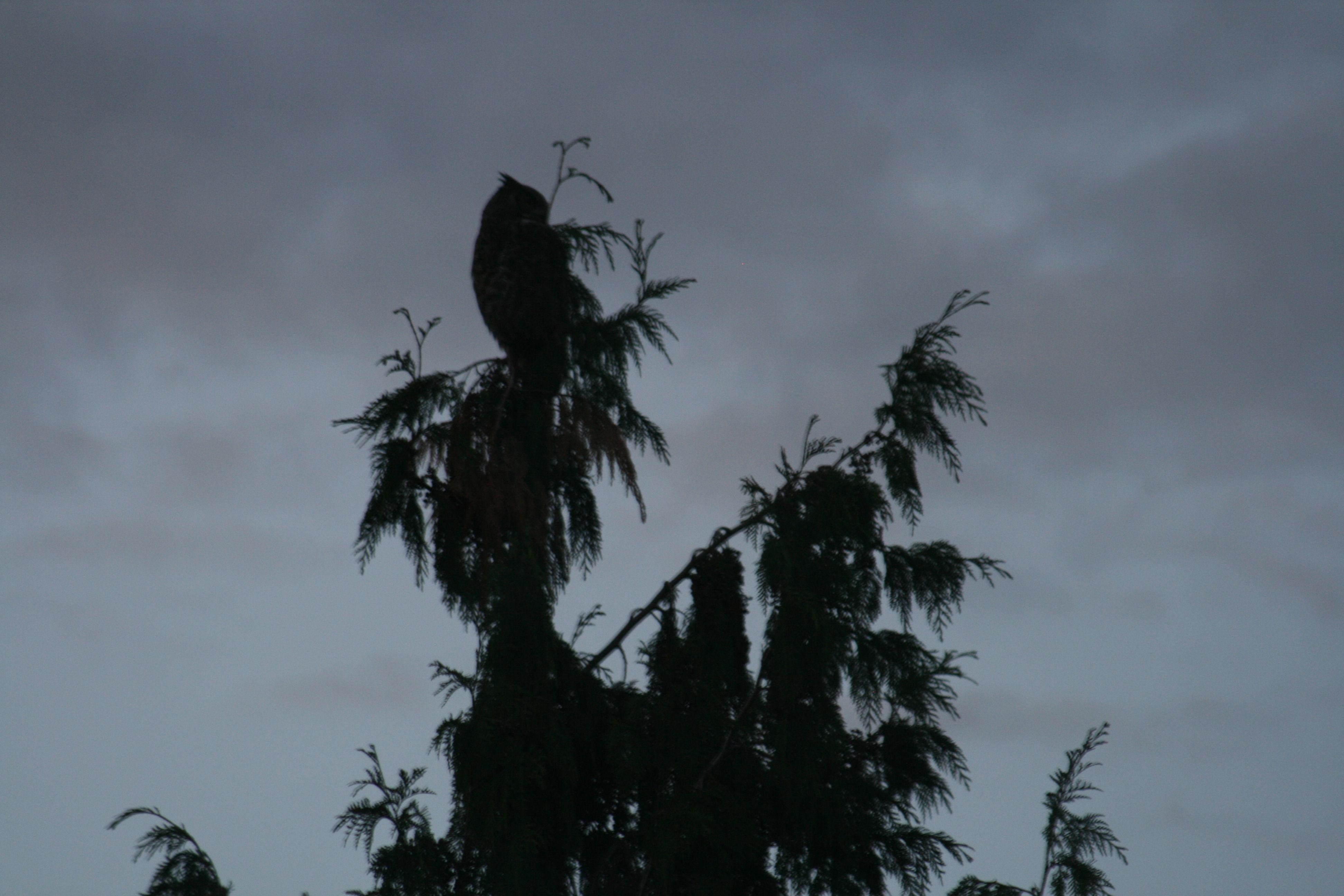 10-4 Horned Owl 1