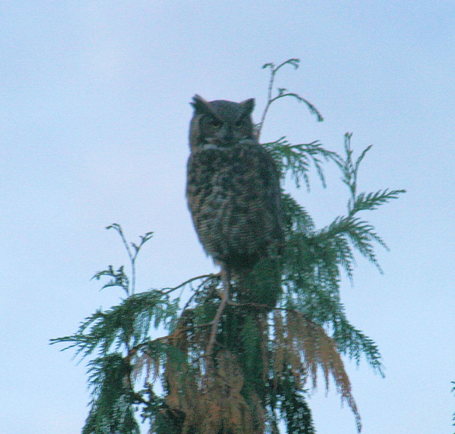 10-4 Horned Owl 7 REV