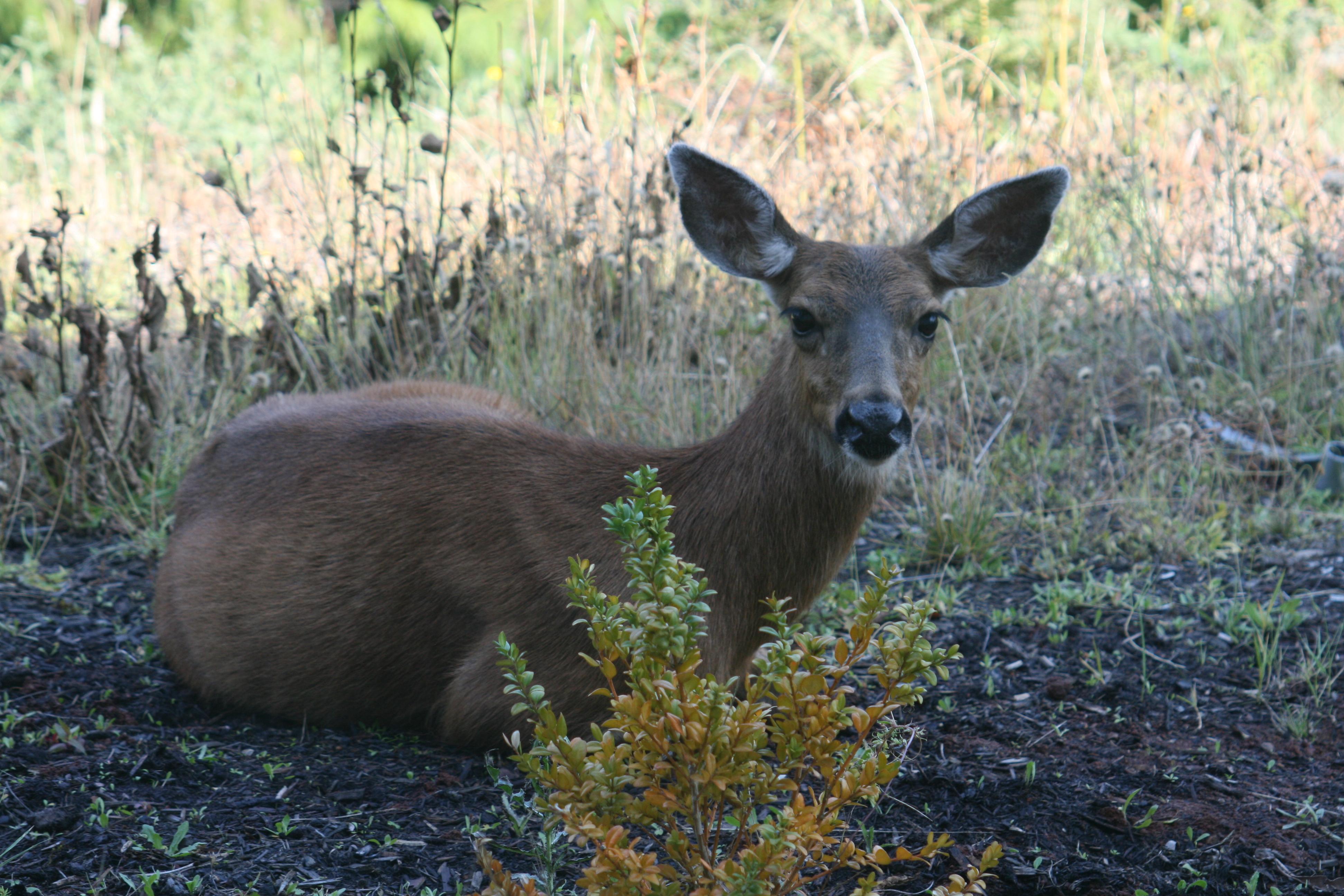 deer  005